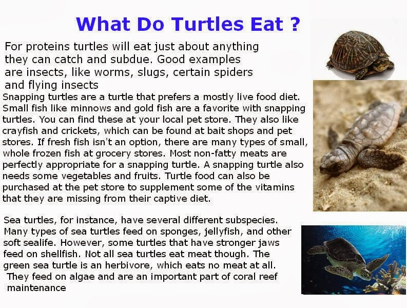 What Foods Do Baby Turtles Eat